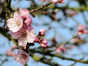 almond-blossom-689851_960_720_edited